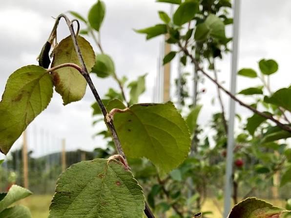 Angrep  av pærebrann (Erwinia alymovora) i nyplanta epletre. Toppskuddet er bøyd som en « bispestav»