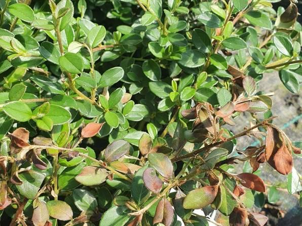 Planter med pærebrann