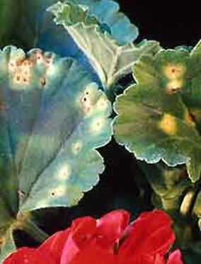 Pelargoniumrust. I flekkene utvikles rustbrune sporehoper.