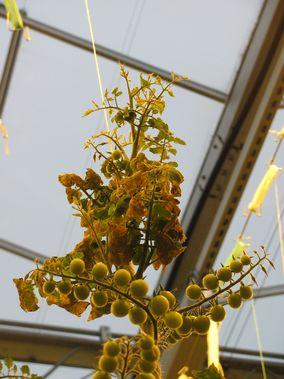 Tomatplante 'Juanta' angrepet av Tomato chlorotic dwarf viroid