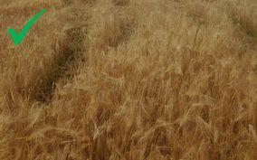 Hele området som skal sprøytes må være gulmodent. Husk også at glyfosatpreparater bør kun brukes i moden byggåker i de tilfeller sprøyting etter høsting blir for seint til å få tilfredsstillende virkning mot ugraset. (Foto: Mattilsynet)